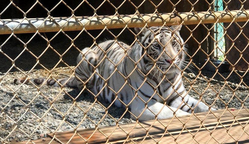 White Bengal Tiger Lying Down at Great Cats World Park