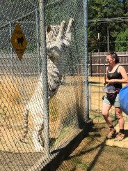 White Tiger Standing on Hind Legs