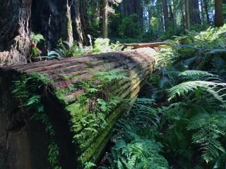 Fallen Redwood on the Ah Pah Trail