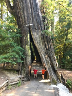 Shrine Drive Thru Redwood Tree