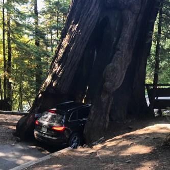 Audi Driving Through The Shrine Drive Thru Tree in Myers Flat