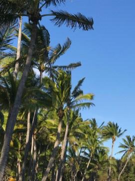Hawaiian Palm Trees