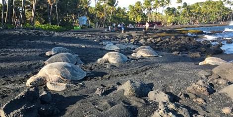 Punalu'u Black Sand Beach Sea Turtles