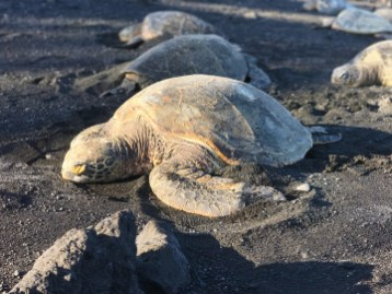 Sea Turtles at Punalu'u Black Sand Beach