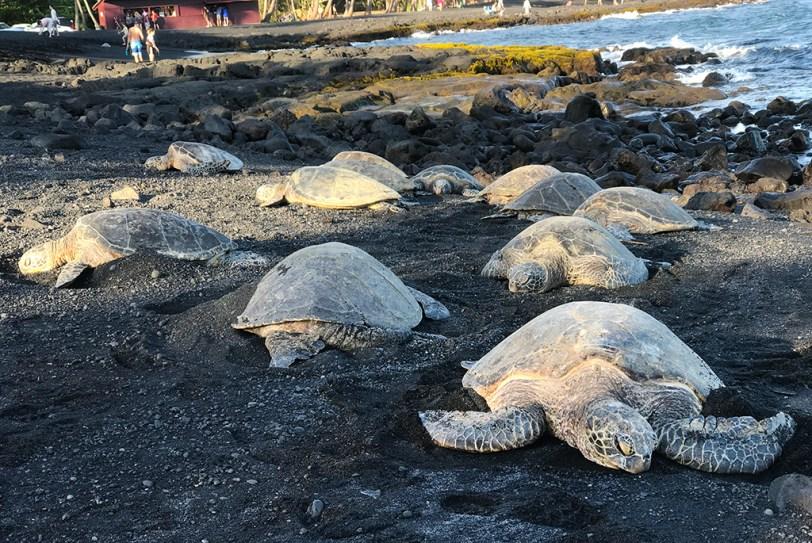 Sea Turtles Sleeping at Punalu'u Black Sand Beach