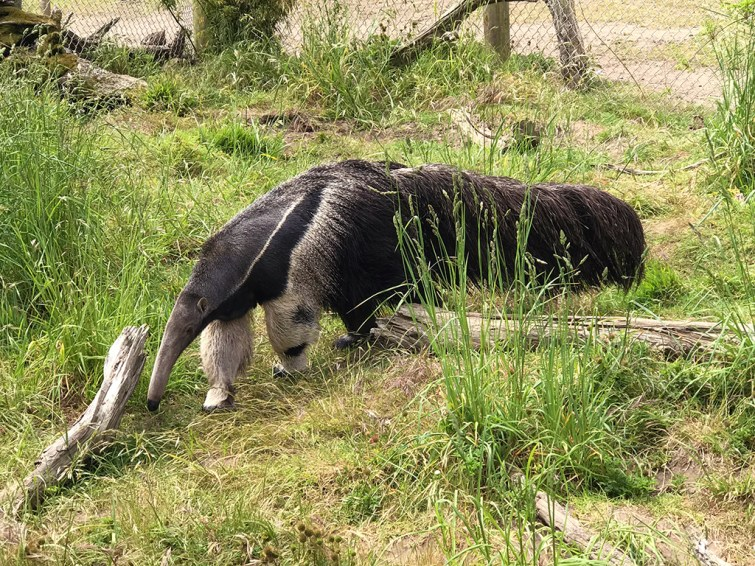 Anteater at the San Francico Zoo