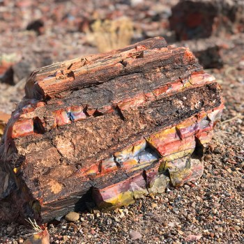 Beautiful Petrified Wood in Crystal Forest