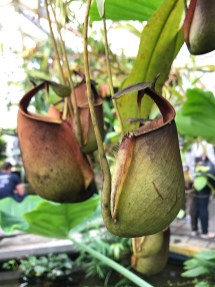 The fanged pitcher plant