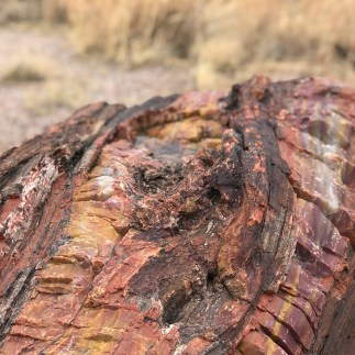 Rainbow Petrified Tree Burl