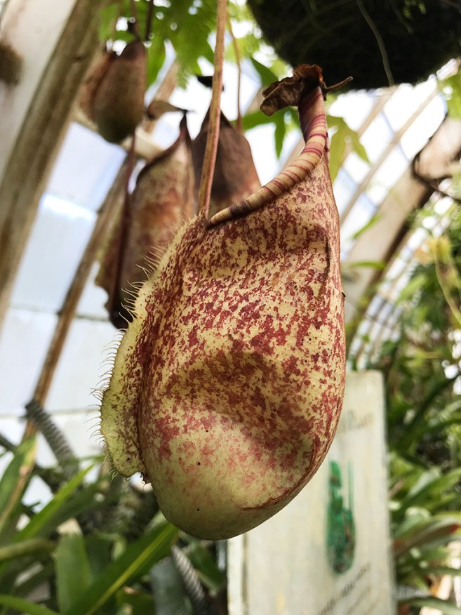 Nepenthes rafflesiana is a carnivorous tropical pitcher plant native to Malaysia, Sumatra, and Borneo