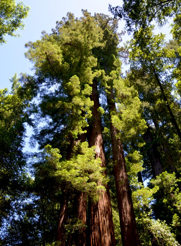Coastal Redwoods in the Santa Cruz Mountains