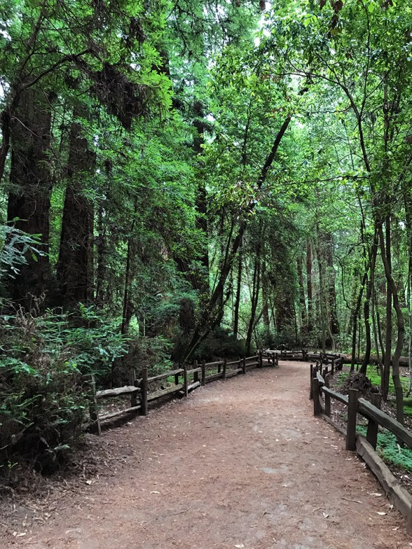 Easy Walk Through Redwood Trees