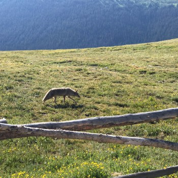 Coyote in the Alpine Tundra Near Rock Cut Overlook