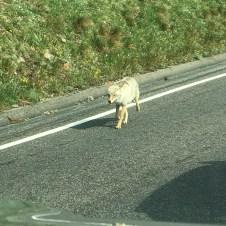 A Coyote Running Down Trail Ridge Road