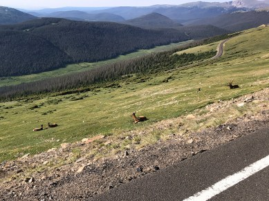 Elk Resting along Trail Ridge Road Near Rock Cut