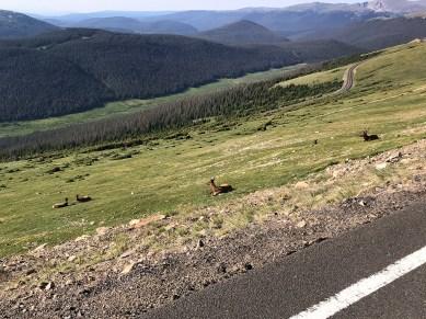 Elk Resting along Trail Ridge Road Near Rock Cut