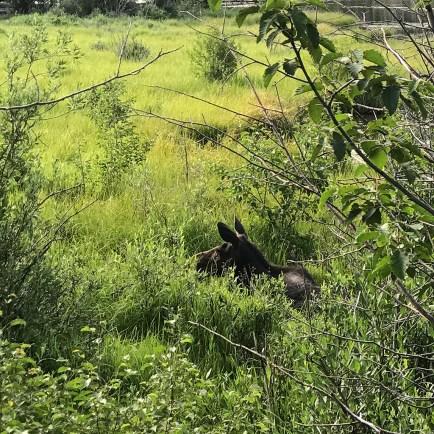 Mama Moose at Sprague Lake
