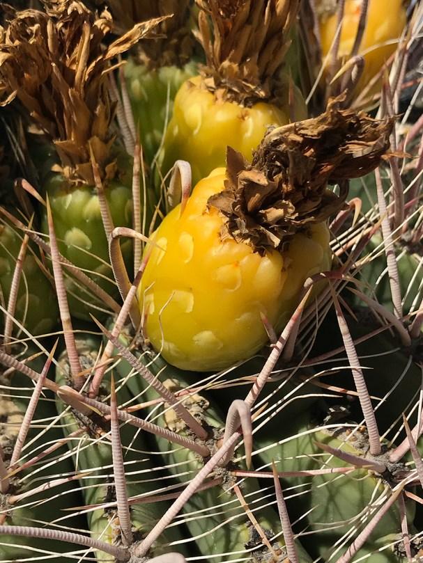 Close Up of Yellow Cactus Fruit