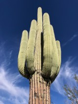 Old Saguaro Cacti With Several Arms