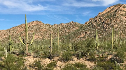 Saguaro Forest in Arizona