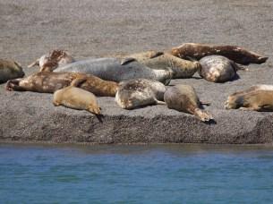 Seals At Goat Rock Beach