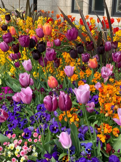 Tulips Blooming at the Empress Hotel in Victoria