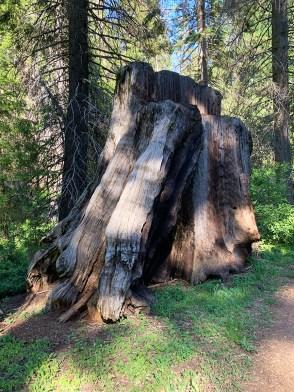 Giant Sequoia Tree Stump