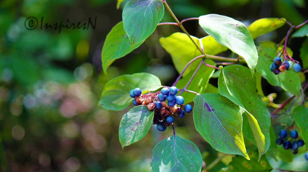 Wild blue berries