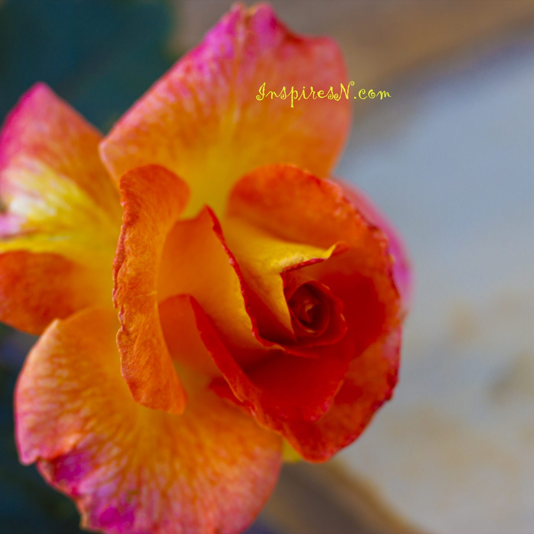 Rose with Pretty shades of yellow orange and pink