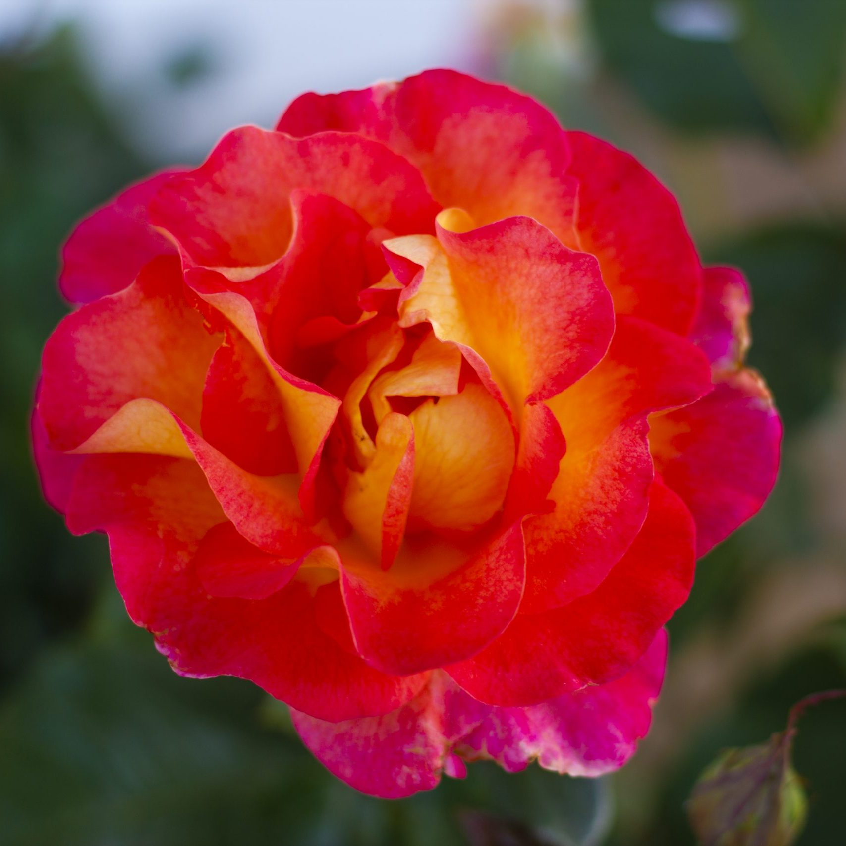 Orange and pink shade rose