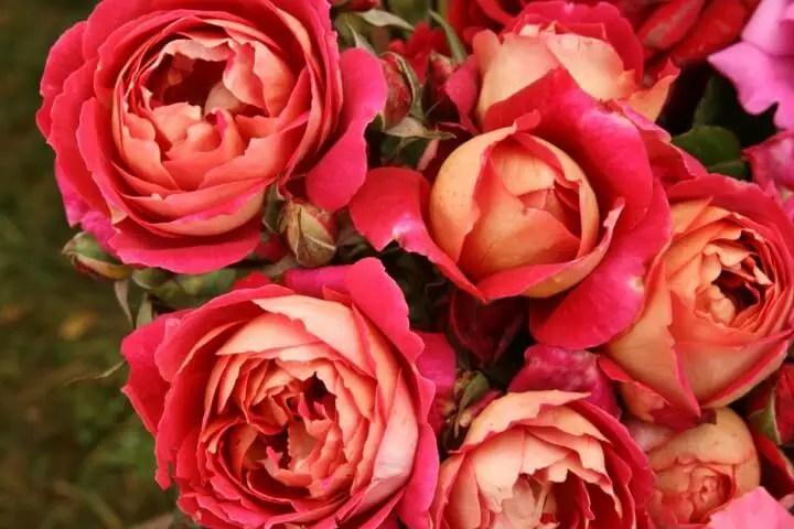 Klasifikasi Gambar bunga mawar berdasarkan jenisnya dilengkapi dengan arti pemberian dari setangkai atau buket bunga mawar merah, pink, hitam dan lain-lainnya.