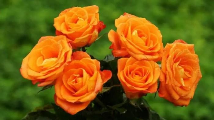 Gambar bunga mawar dilengkapi dengan maknanya dari setangkai atau buket bunga mawar merah, pink, hitam dan lain-lainnya.