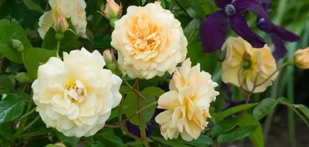 Klasifikasi Gambar bunga mawar berdasarkan jenisnya dan bentuknya dilengkapi dengan arti pemberian bunga mawar pada orang terkasih.