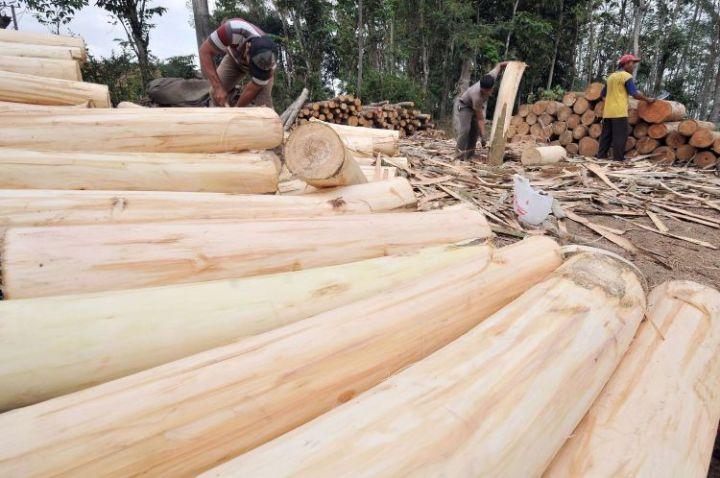 jenis jenis kayu di Indonesia kayu sengon