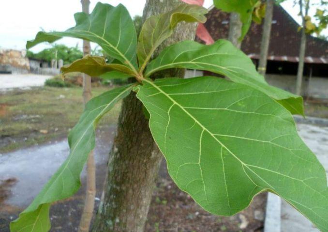 gambar daun kayu jati