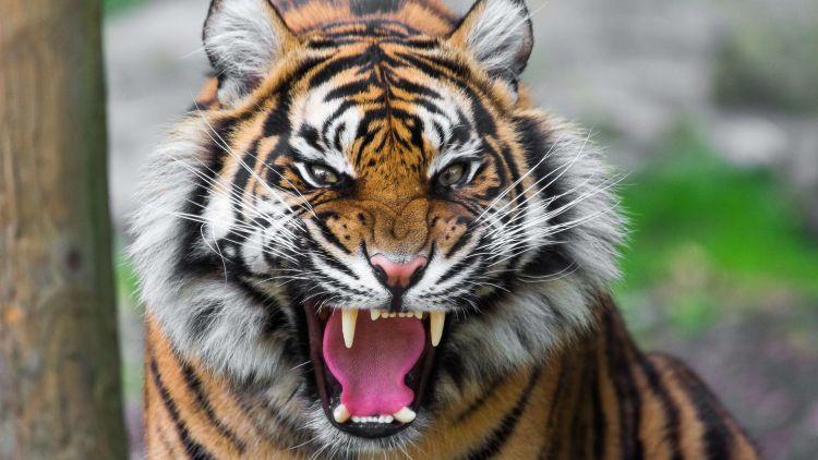 silat harimau