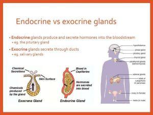 Sistem Hormon pada Manusia Berserta Fungsi Kelenjar  Endokrin dan Eksokirn