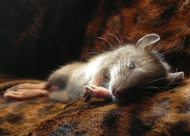 cara mengusir tikus paling ampuh