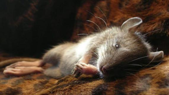 Begini Cara Mengusir Tikus yang Ampuh Agar Tidak Balik Lagi