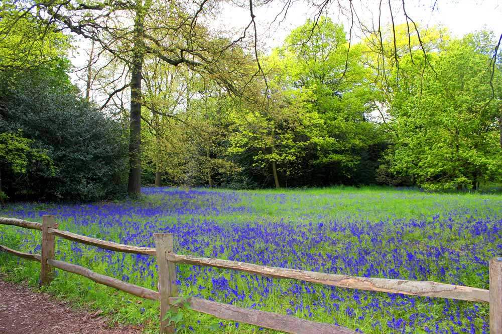 Bluebells in Kew Gardens (1/3)