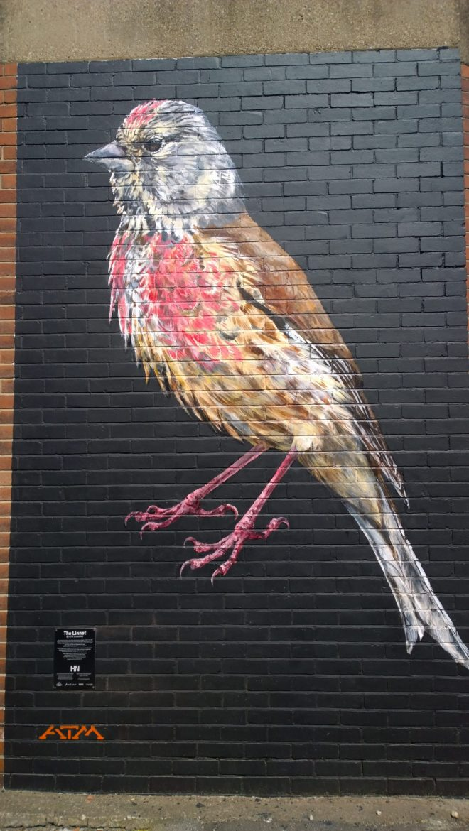 A giant Linnet by ATM