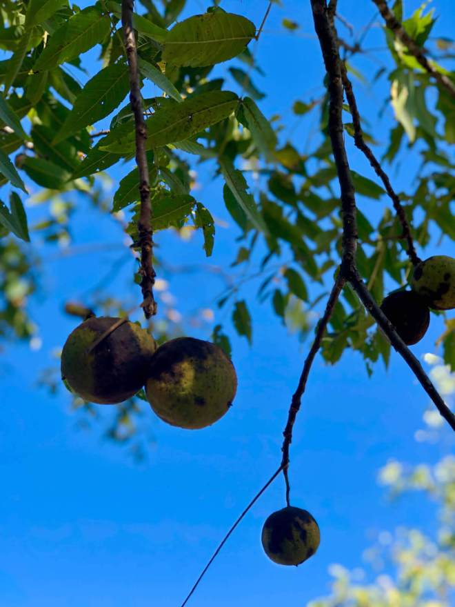 Black walnuts against a crystal clear Wythe County, Virginia sky