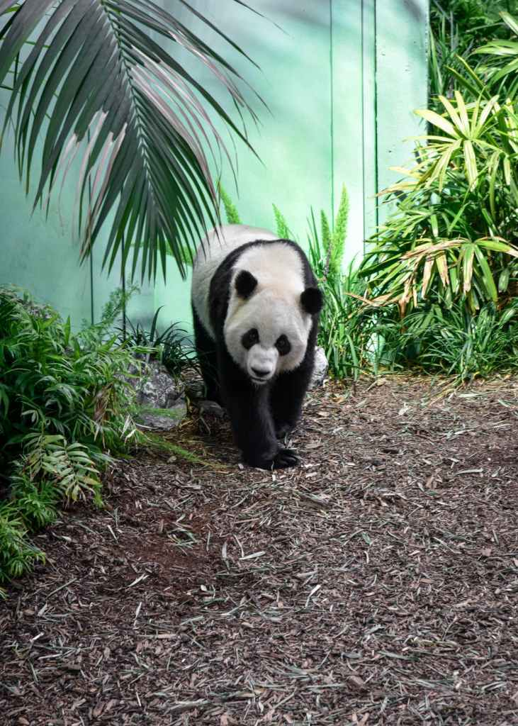 panda bear at zoo social distancing