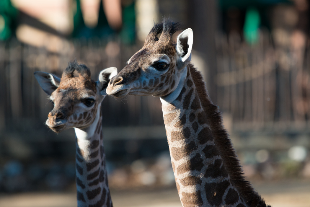 Baby Giraffe at the Houston Zoo- Find out what is new this summer and enter to win Four (4) a ll -day passes to the Houston Zoo.