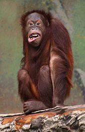 170px pongo pygmaeus orangutang HZmdr 32853
