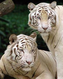 220px singapore zoo tigers cropped FRGTA 32853