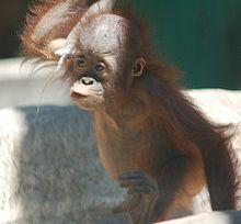 220px young orangutan 3t8Si 32853