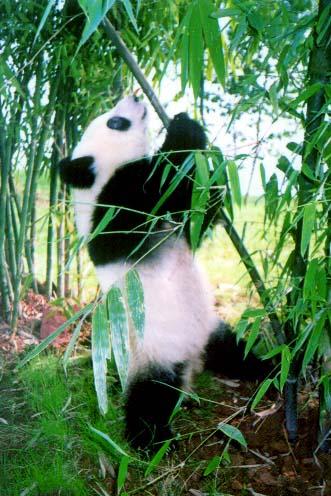 giant panda 6uz6v 32853