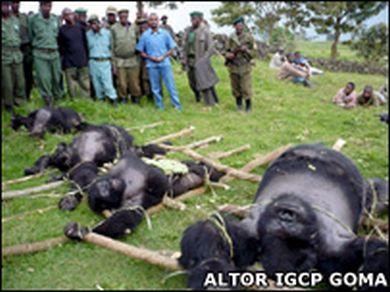 massacred gorillas in virunga national park 6439