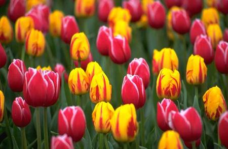 tulip garden 2282